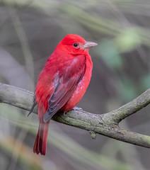 Summer Tanager (X2014283-1) (Eric SF) Tags: summertanager tanager rarebird glencanyonpark sanfrancisco ca