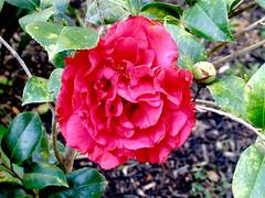Camellia (M.P.N.texan) Tags: flower flowering shrub plant camellia red