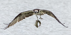 Osprey showing off catch to all fishing around the lake (markmackin) Tags: osprey raptor fishing hunting lake trout diving tucson park talons