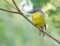 Eastern Yellow Robin (christinaport) Tags: easternyellowrobin robin nsw australia bird birds wild free
