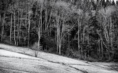 The small Tree... (Ody on the mount) Tags: anlässe blackwhite bäume em5iii fototour landschaft mzuiko124028 muster omd olympus pflanzen schwarzwald wald bw blackforest blackandwhite forest landscape miraclesofcreation monochrome patterns sw savingtheclimatebytrees schwarzweis trees woods glottertal badenwürttemberg deutschland