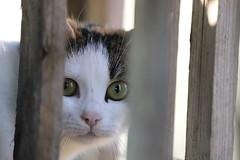 micio (maurizio.giustini) Tags: animali animals gatti cats