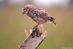 Civetta _012 (Rolando CRINITI) Tags: civetta uccelli uccello birds ornitologia avifauna castellapertole natura