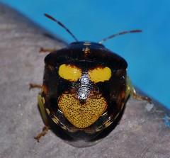 Dimpled Brown and gold anchor bug Stiretrus sp Pentatomidae Mandalay Rainforest Airlie Beach P1200945 (Steve & Alison1) Tags: dimpled brown gold anchor bug stiretrus sp pentatomidae mandalay rainforest airlie beach