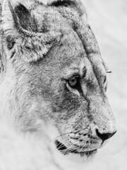 A dangerous beauty (frank.shepherd) Tags: blackandwhite bw animals lioness absoluteblackandwhite lightroom monochrome cat lion bigcat wildanimal carnivore