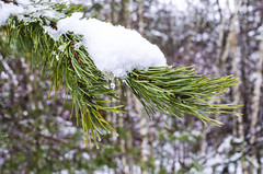 Spruce branch covered with fresh snow in the forest (ivan_volchek) Tags: background branch celebrate celebration christmas concept conifer contrast cool cover decoration design falling flakes fluffysnow forest frost frozenbranch green hoarfrost holiday light natural nature needle needles new newyear object outdoor pattern pine plant pure rime season seasonal snow snowfall snowflakes snowy splashscreen spruce style symbol tree white winter winterforest wood