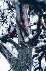 Käpytikka (jpuuskaphotography) Tags: bird birdphotography birdwatching photography wildlife wildlifephotography woodpecker käpytikka greatspottedwoodpecker animal animalphotography animals nature naturephotography naturelover nikon nikkor200500 nikond500 winter finland suomi finnishnature discoverfinland