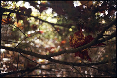 (Armin Schuhmann) Tags: 2018 praktica mtl mtl3 carl zeiss jena carlzeissjena czj flektogon 20mm f4 420 204 vintagecamera vintagelens vintage ddr fujica superia 800asa xtra tetenal c41 m42 scan selfdeveloped shootfilm screwmount pelicula longlivefilm ishootfilm believeinfilm buyfilmnotmegapixels bokeh argentique analogue analogic analog analogo analogico analogica automn filmisnotdead filmphotography filmscan filmphoto film filme estrie easterntownships quebec canada northeast nature natural leaves foliage branch trees woods forest sky maple leaf пленка фотопленка analogphotography