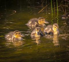 Where the Sunshines. (Omygodtom) Tags: wildlife bird ducks pond fuzzy natural nature usgs baby golden d7100 lowkey scene scenic senery