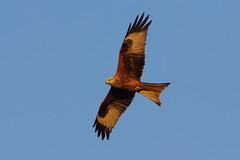 K32P5932c Red Kite, Stilton, November 2019 (bobchappell55) Tags: redkite milvusmilvus flight birdofprey cambridgeshire stiltonnature wild wildlife