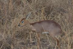 Steenbok (Rckr88) Tags: krugernationalpark southafrica kruger national park south africa steenbok steenboks animals animal antelope nature naturalworld outdoors travel travelling