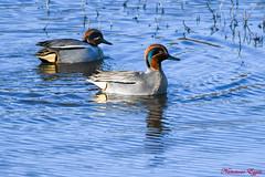 Sarcelle d'hiver  Anas crecca (Ezzo33) Tags: france gironde nouvelleaquitaine bordeaux ezzo33 nammour ezzat nikon d500 parc jardin oiseau oiseaux bird birds sarcelledhiver anascrecca