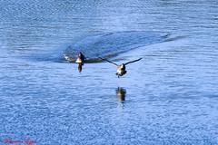 Sarcelle d'hiver  Anas crecca (Ezzo33) Tags: france bordeaux gironde nammour nouvelleaquitaine ezzo33 bird birds nikon jardin parc oiseau oiseaux d500 anascrecca ezzat sarcelledhiver