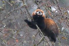 Red Panda (Tim Melling) Tags: ailurus fulgens styani chinese red panda sichuan china timmelling