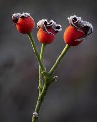 Threefrostiness - Dreifrostigkeit (ralfkai41) Tags: rose pflanze nature flower frost blume natur garden hagebutte plant macro focusstacking garten rosehip samen makro semen stacking winter kälte cold bokeh