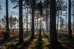 Licht en schaduw tussen de bomen/Light and shadow between the trees (truus1949) Tags: wandelen natuur schoorsveld bomen licht schaduw winter landschap