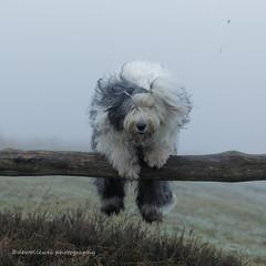 "happy weekend ! (dewollewei) Tags: oldenglishsheepdog oldenglishsheepdogs old english sheepdog sheepdogs dewollewei scarlett jump jumping dog grey white portrait"" portrait jumpingdogs"