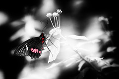 Monochrome with red (baladeson) Tags: blackwhite monochrome colorselective red papillon butterfly sigma flickrunitedaward