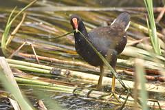 Dusky Moorhen (Luke6876) Tags: duskymoorhen moorhen bird animal wildlife australianwildlife nature