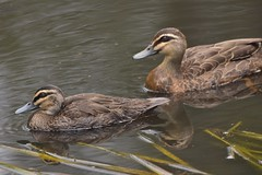 Pacific Black Duck mother and duckling (Luke6876) Tags: pacificblackduck duck duckling bird animal wildlife australianwildlife nature family