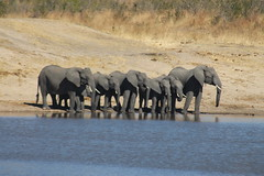 Elephants at the Waterhole (Rckr88) Tags: krugernationalpark southafrica kruger national park south africa elephants waterhole elephantsatthewaterhole elephant dam dams lake lakes water animals animal nature naturalworld outdoors travel travelling