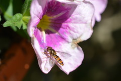 Marmalade Hoverfly (suekelly52) Tags: marmaladehoverfly marmaladefly fly diptera insect flower