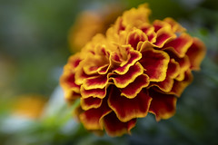 Town Hall Marigold 2020-01-19 (5D4_9570) (ajhaysom) Tags: marigold flower freitagsblümchen melbourne australia canoneos5dmkiv lensbaby sweet50 100xthe2020edition 100x2020 image8100 100flowers2020 image6100