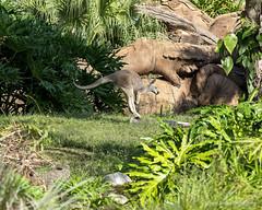 Caught Mid-hop (Harry Rother) Tags: animal kangaroo mammal red hoping disney abigfave