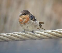 Hirundo neoxena neoxena 11 (newcbirds) Tags: kooragang wetlands ash island newcastle nsw australia ausbird ausbirds barry m ralley barrymralley hirundoneoxenaneoxena eastern welcome swallow