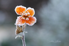 Frozen (hehaden) Tags: flower orange tiny frost ice frozen shallowdepthoffield macro garden winter cold lookingcloseonfriday winterflora sel90m28g
