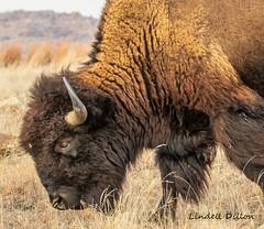 American bison (Lindell Dillon) Tags: americanbison buffalo wildlife nature wichitamountains oklahoma wldoklahoma