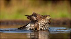 Reflections (Gertj123) Tags: bokeh bird birdofprey birdwatching animal avian netherlands nature water wildlife wild hide hbn7 lemelerberg reflection summer canon