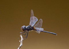 On A Windy Twig (ACEZandEIGHTZ) Tags: bluedasher pachydiplaxlongipennis dragonfly nikond3200 flyinginsect wings winged nature windyday macro closeup twig