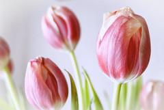 Pure texture. (Miguel Angel SGR) Tags: tulipanes tulips tulip turismo color colorful pink rosa flower flores bokeh focus enfoque detalles details texturas texture nikon