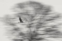 Baumkranich (IIIfbIII) Tags: kranich crane dzwig grue grus bird birdphotography fantasticnature naturephotography natur nature naturfotografie wildlifephotography hornborgasjön schweden blackandwhite bw schwarzweiss canon
