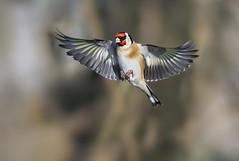 Goldfinch (redmanian) Tags: goldfinch bird ianredman