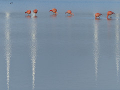 [flamingo's] (pienw) Tags: pijnacker groenzoom berkel flamingo bird nature