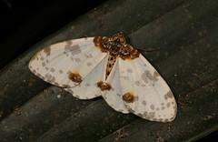 Geometrid Moth (Abraxas sp., Ennominae, Geometridae) (John Horstman (itchydogimages, SINOBUG)) Tags: insect macro china yunnan itchydogimages sinobug entomology canon moth lepidoptera ennominae geometridae