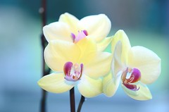 Orchidee (hansziel99) Tags: nikond7000 nikoncapturenx2 sigma105mm128dgmacrohsm macro flash nikonspeedlightsb700 flower