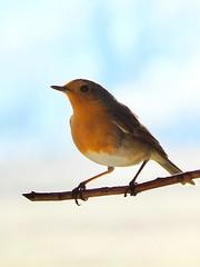 Rotkehlchen (martin.ostheimer) Tags: rotkehlchen vogel tier tiere animal bird birds natur nature erithacus rubecula