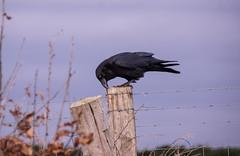 Beak Clean (Shastajak) Tags: raven corvexcorax fence fencefriday fenceposts barbedwire bird