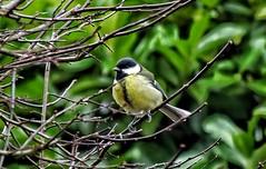 Great tit (Parus major) (ruedigerdr49) Tags: tit bird kohlmeise vogel uccello animal wildlife outdoor nature tamron18200 canon eosm50