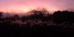 Friday Dawn. (mcginley2012) Tags: dawn daybreak moss waterdrops cameraphone ireland light huaweip20pro onthegardenwall dew beauty colour sky cloud mood