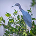 Little blue heron with breeding plumage perching on a mangrove tree on the marsh in Ten Thousand Islands National Wildlife Refuge near Naples, Florida