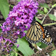 Chicago, South Grant Park, Monarch Butterfly (Mary Warren 14.7+ Million Views) Tags: chicago park garden nature flora plants green leaves foliage pink blooms blossoms flowers fauna butterfly monarchbutterfly