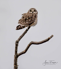 Short-eared Owl (Anne Marie Fraser) Tags: owl raptor bird shortearedowl nature wildlife