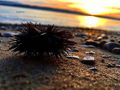 Sea urchin after a storm on the beach in sunsetlight, photo taken in Igrane, Croatia (Tommysfotografie) Tags: world sunset pordosol sea mer seascape praia beach animal animals strand mar zonsondergang marine meer europa europe tramonto mare sonnenuntergang earth croatia sunsets playa sealife zee sunsetbeach puestadesol tramonti sunsetlight dieren croazia spiaggia adriatic seaview coucherdesoleil seaurchin adria solnedgang adriaticsea adriatico hrvatska balkan solnedgång erde dalmatia sjø maritim kroatien seaanimals beachview meeresfrüchte seeigel tieren zeeleven zeeëgel sunsetphotography sunsetpicture sunsetphoto frutidimare meeresleben beachvibes landscapephotography landscapeview landscapepicture landscapebeauty landscapephoto landscapeperfection stones stonebeach