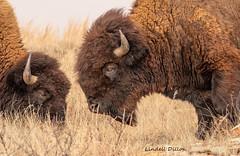Bison bulls (Lindell Dillon) Tags: bison buffalo wildlife nature wichitamountains oklahoma wildoklahoma