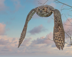 Great Horned Owl Reworked (Mark Schocken) Tags: bubovirginianus greathornedowl birdinflight owl schockenphotography markschocken