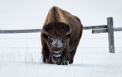 Snow King (laura's Point of View) Tags: bison buffalo animal bull wildlife winter cold extreme freezing snow ice wild jacksonhole jackson wyoming grandtetonnationalpark gtnp moran fence west western findyorkpark nationalpark barbedwire lauraspointofview lauraspov